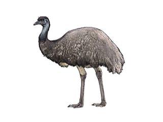 Illustration Grosser Emu