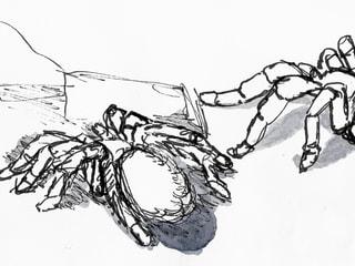 Skizze einer Vogelspinne