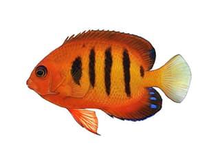 Illustration Flammen-Zwergkaiserfisch