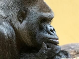 Gorilla N'Gola