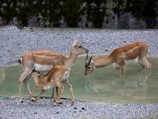 Hirschziegenantilopen im Zoo Zürich