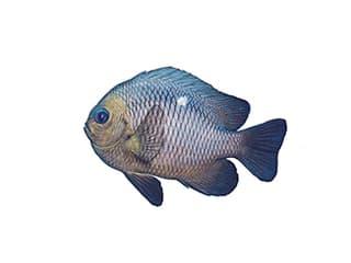 Illustration Dreipunkt-Preussenfisch
