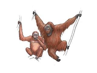 Illustration Sumatra-Orang-Utan