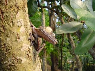 Plattschwanzgecko im Masoala Regenwald.