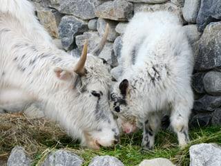 Yaks in der Mongolischen Steppe des Zoo Zürich