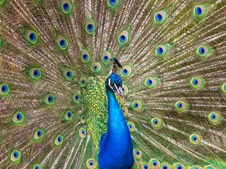 Blauer Pfau im Zoo Zürich