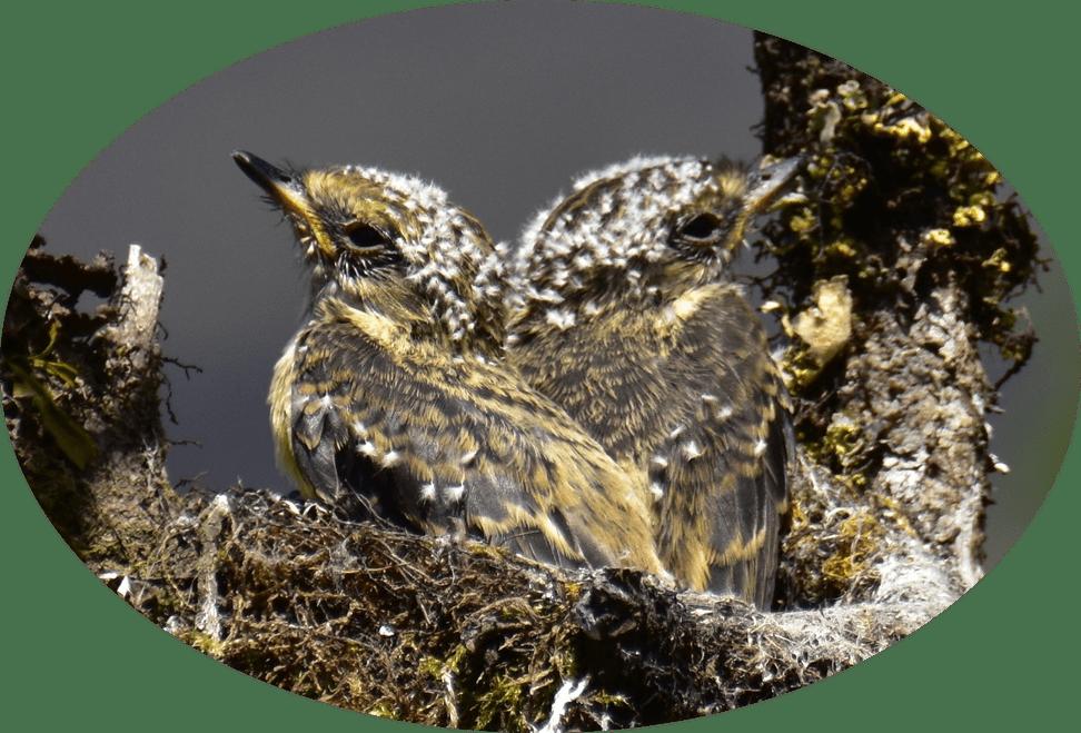 Rubintyranne Nestling