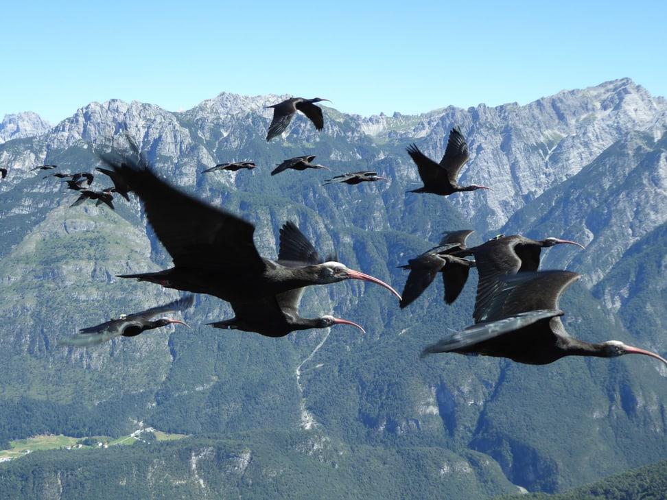 Juvenile Waldrappen beim Vogelzug.