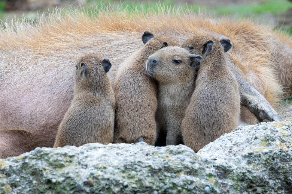 Capybaras im Pantanal des Zoo Zürich.