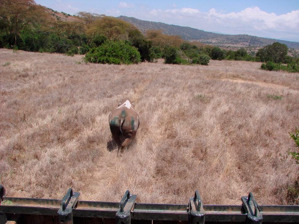 Ein Spitzmaulnashorn aus Lewa wird im neuen Schutzgebiet in die Wildnis entlassen.