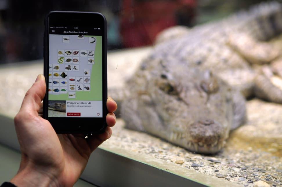 Zoo-App beim Philippinen-Krokodil