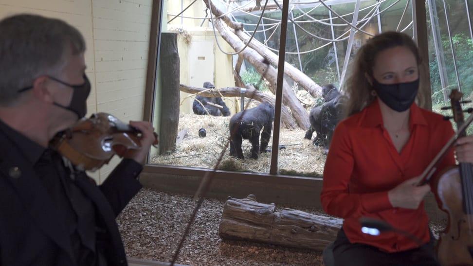 Das Streichquartett des Zürcher Kammerorchesters spielt bei den Flachlandgorillas im Zoo Zürich.