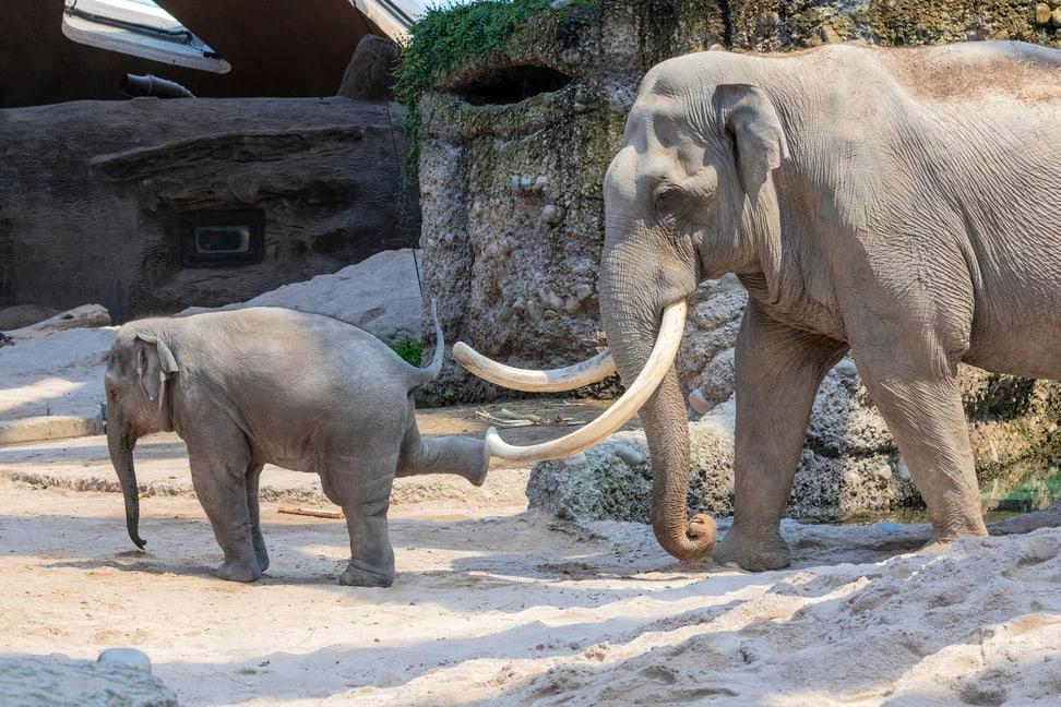 Asiatische Elefanten Maxi und Ruwanin im Kaeng Krachan Elefantenpark im Zoo Zürich.