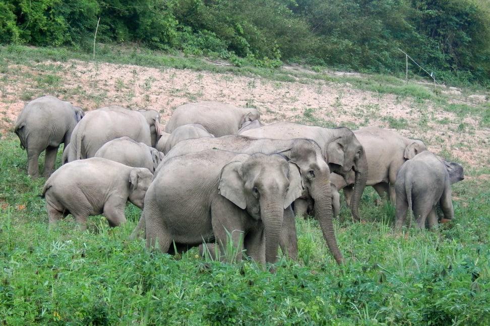 Asiatische Elefanten im Kaeng Krachan Nationalpark in Thailand
