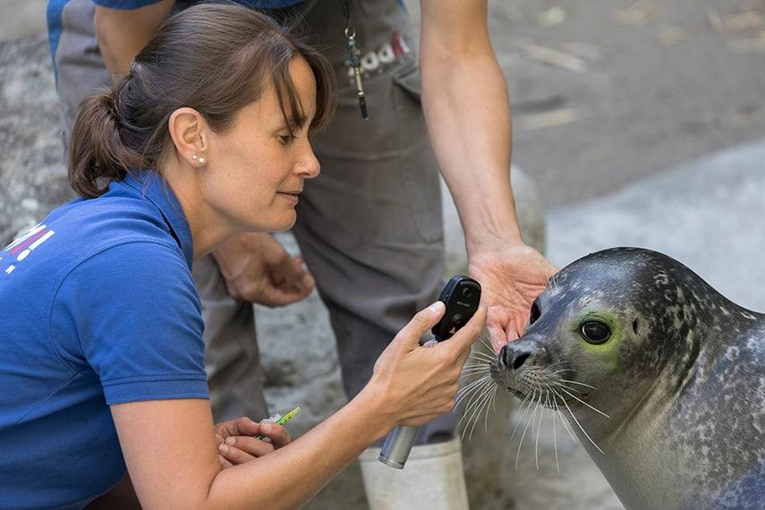 Seehund Augenuntersuchung