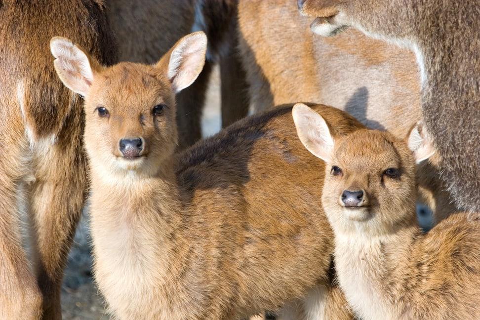 Junge Burma-Leierhirsche im Zoo Zürich.