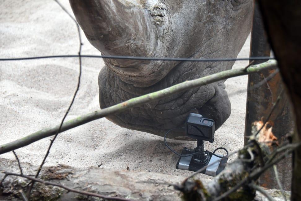 Breitmaulnashorn Teshi inspiziert die GoPro-Kamera.