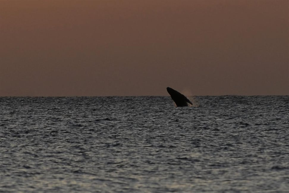 Buckelwal in einem der Meeresreservate des Masoala Nationalpark.