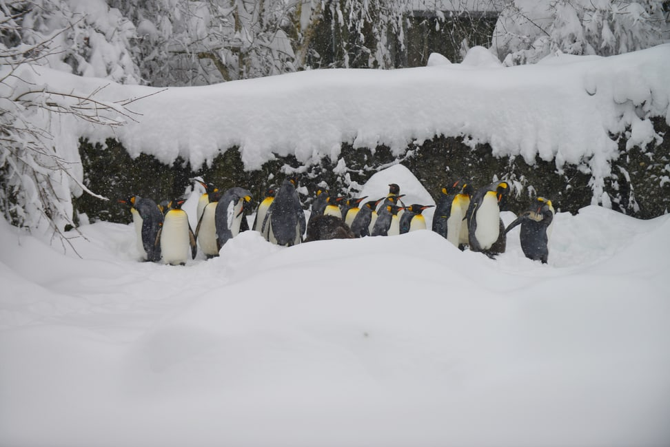 Königspinguine im Zoo Zürich am 15.1.2021.