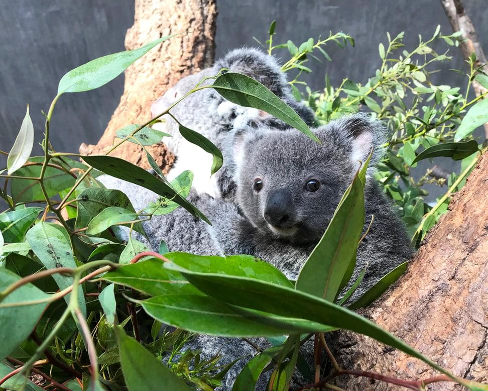 Koala Uki und Mutter Pippa. Foto: Philipp Lederle