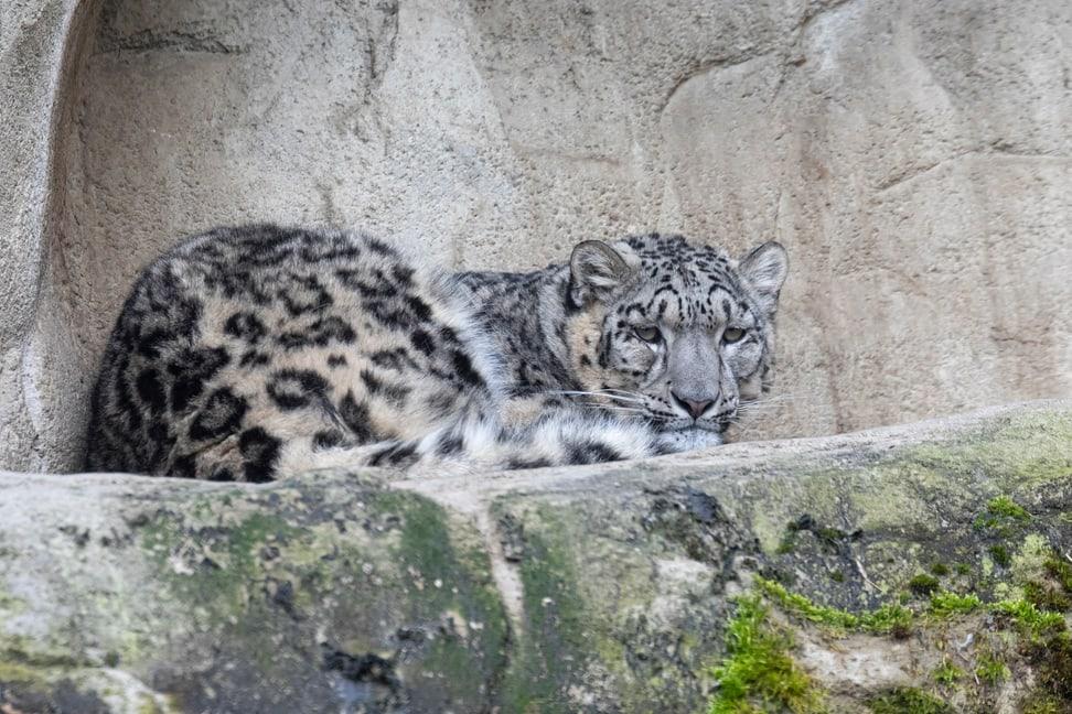 Schneeleopardenweibchen Saida im Zoo Zürich.