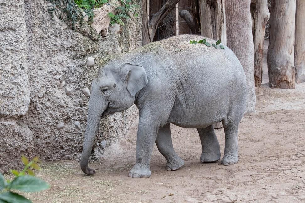 Elefant Omysha Bild: Enzo Franchini