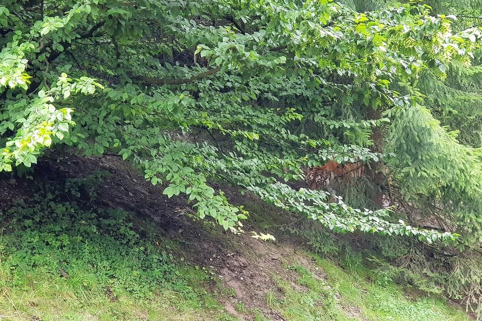 Amurtigerin Irina im Zoo Zürich.