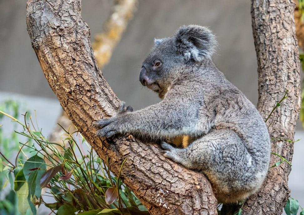Koala Maisy Zoonews, Foto: Zoo Zürich, Albert Schmidmeister