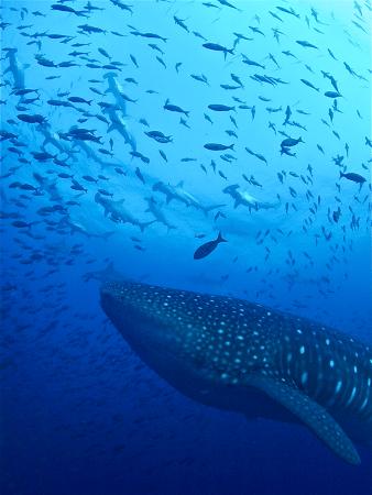 Whale shark & hammerheads