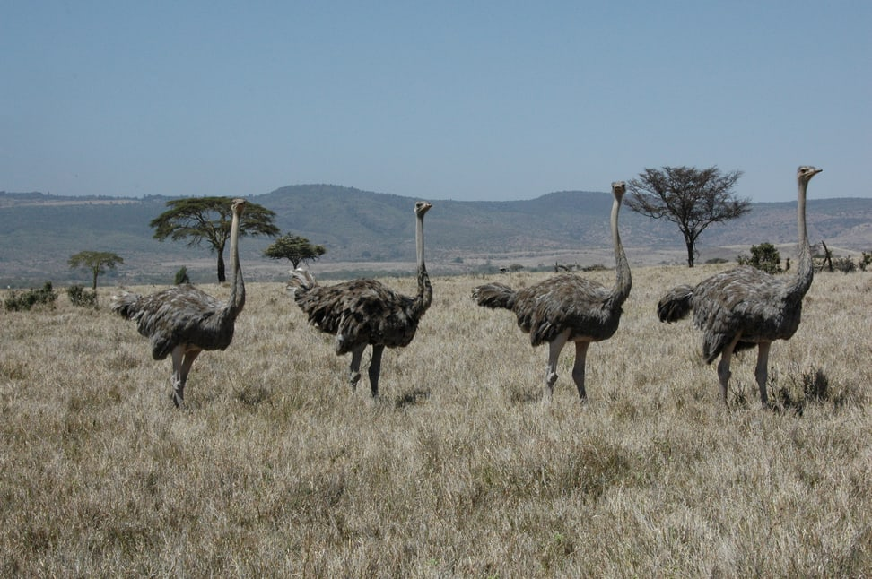 Vogel Strausse im Lewa Wildlife Conservancy in Kenia.