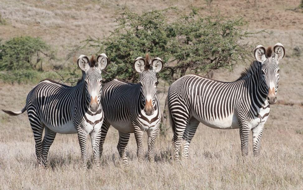 Grevyzebras in der Lewa Wildlife Conservancy in Kenia.