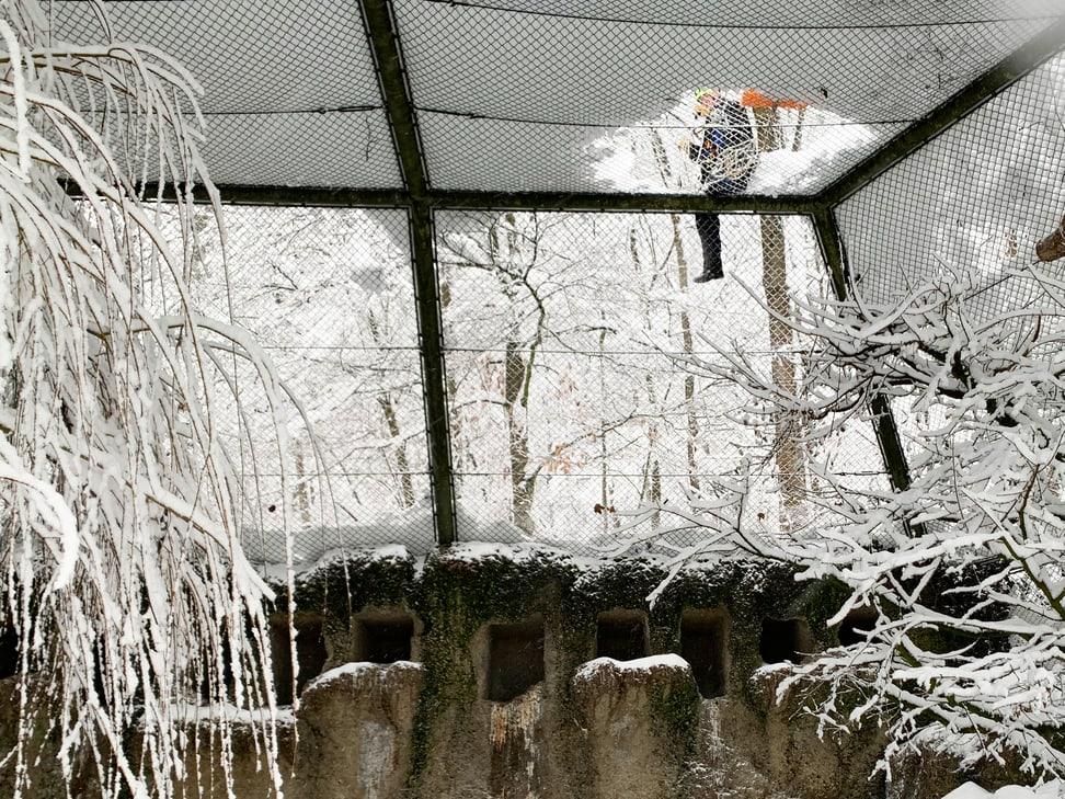 Freischaufelnd der Waldrapp-Voliere. 15.1.2021.