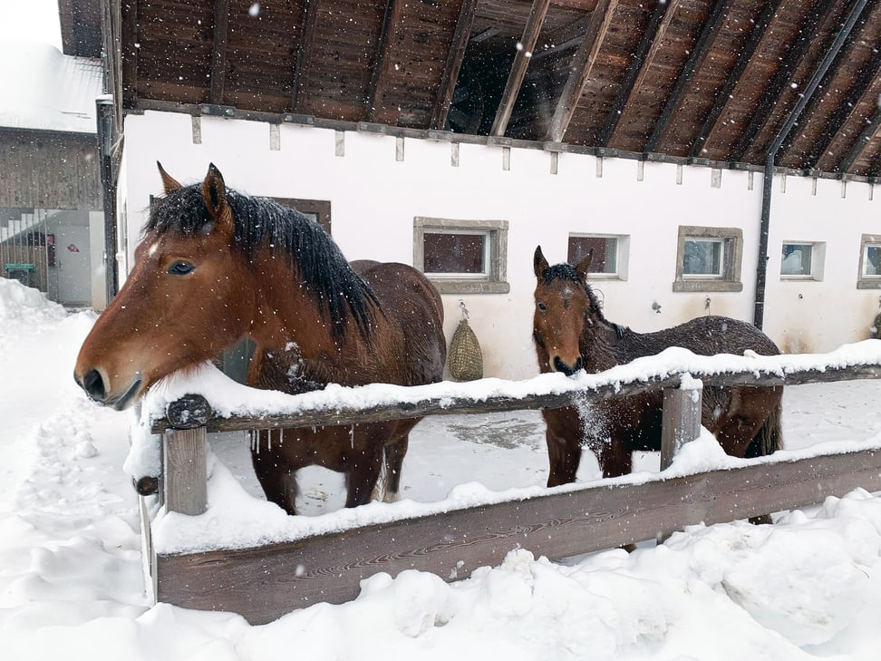 Burgdorferpferde im Zoolino am 15.1.2021.