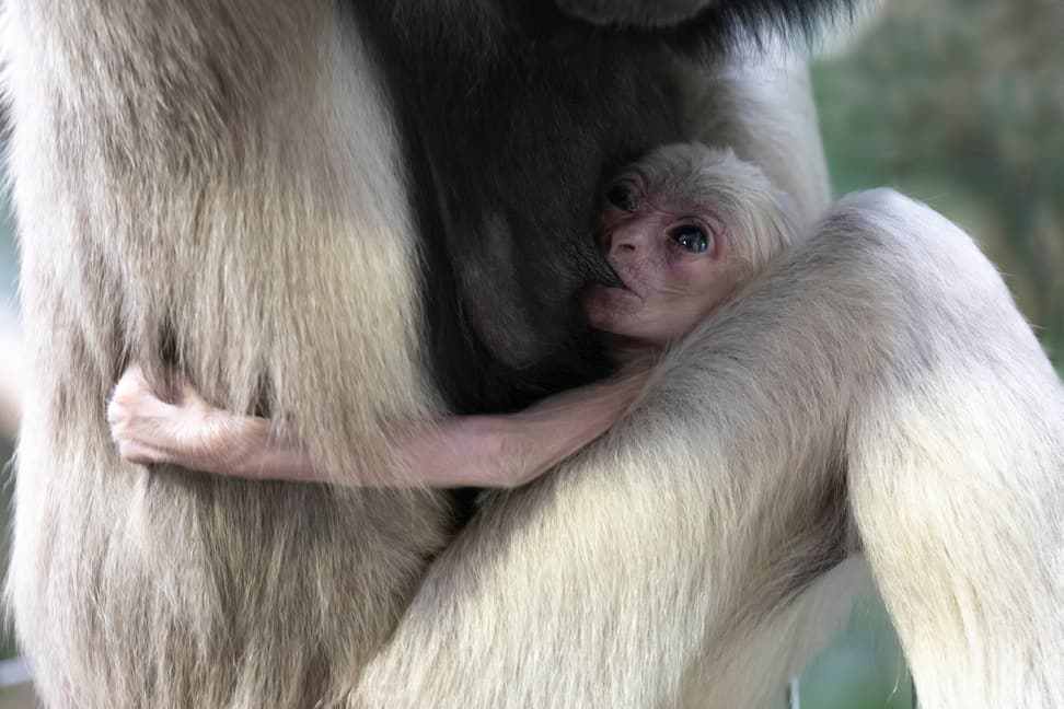 Junger Kappengibbon im Zoo Zürich.