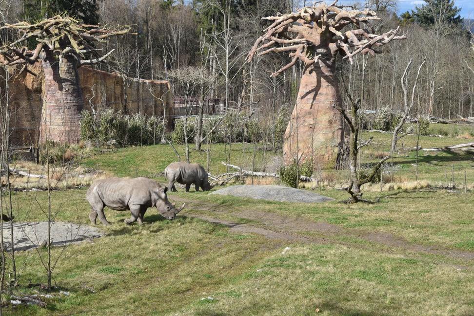 Breitmaulnashörner Teshi und Rami in der Lewa Savanne