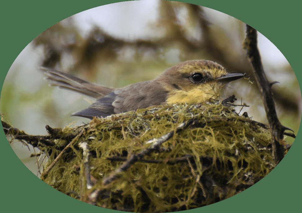 Rubintyranne im Nest