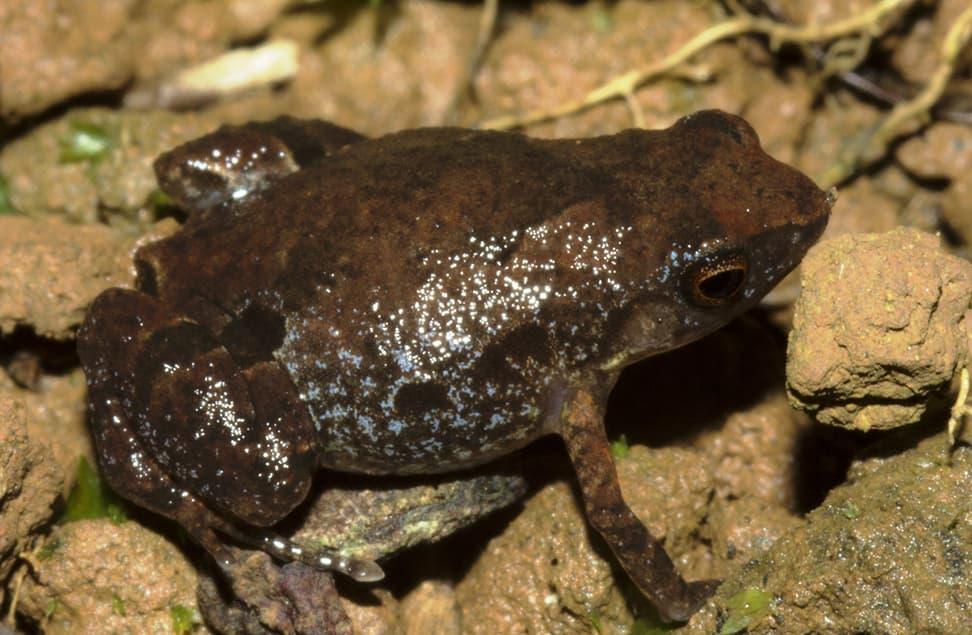 Neu entdeckte madagassische Froschart Stumpffia froschaueri.