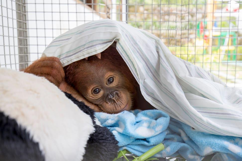 Sumatra Pflegestation Orang-Utan