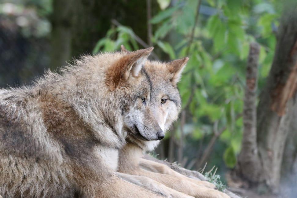 Mongolische Wölfe im Zoo Zürich.