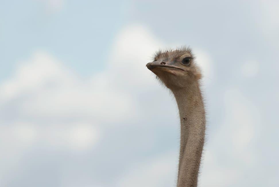 Vogel Strauss im Lewa Wildlife Conservancy in Kenia.