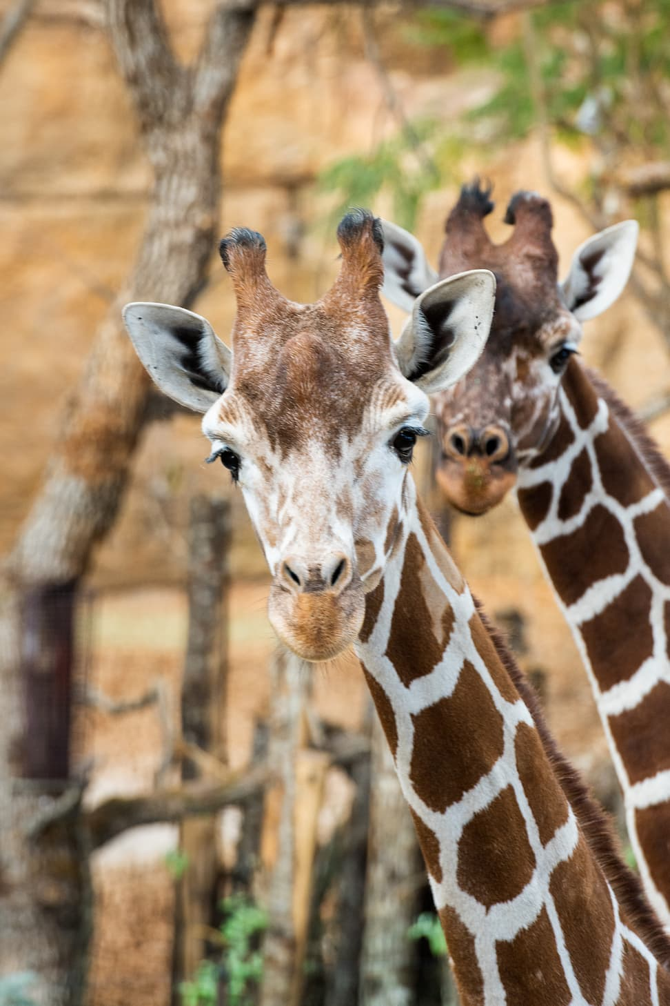 giraffe luna jahi