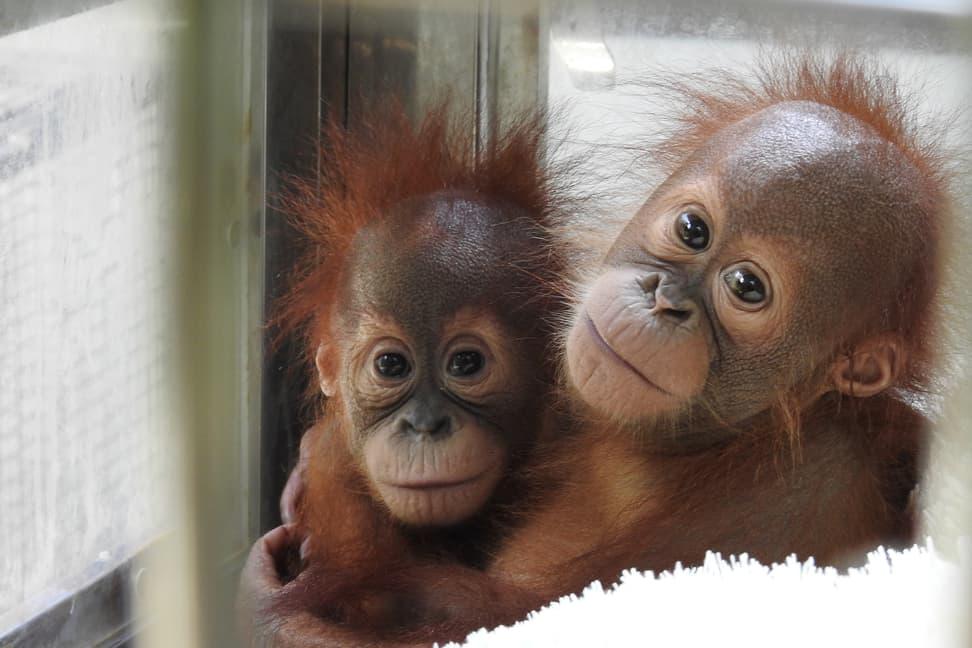 Junge Sumatra-Orang-Utans im PanEco-Schutzprogramm.