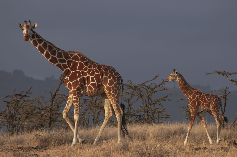 Netzgiraffe in der Lewa Wildlife Conservancy in Kenia.