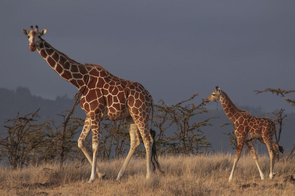 Netzgiraffe in der Lewa Wildlife Conservancy in Kenia.