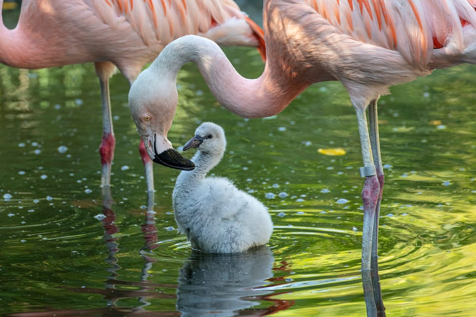 Junger Flamingo im Pantanal des Zoo Zürich.
