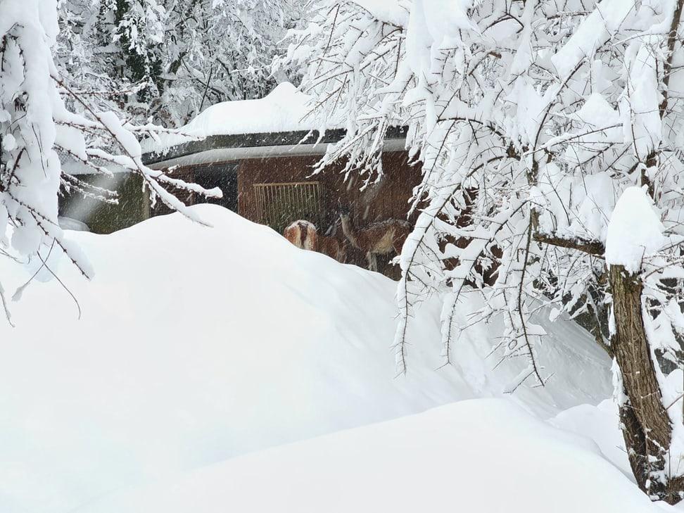 Vikunjas im Zoo Zürich am 15. Januar 2021.