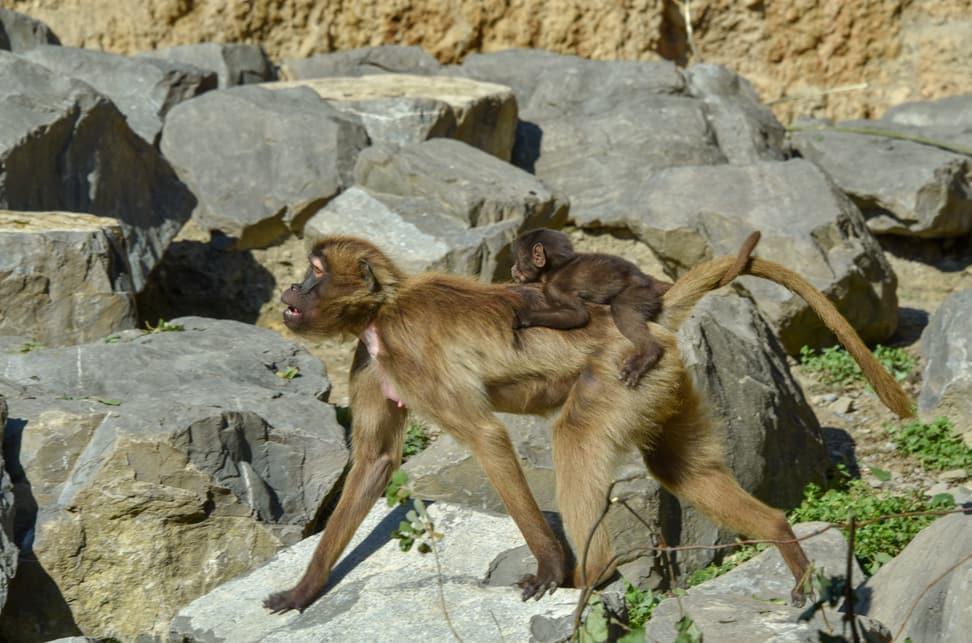 Dschelada mit Jungtier im Zoo Zürich.