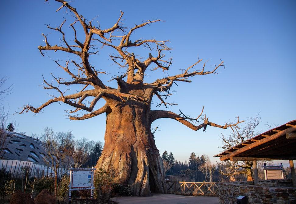 Baobab in der Lewa Savanne im Zoo Zürich.