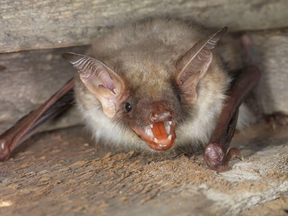 Grosses Mausohr (Fledermaus).