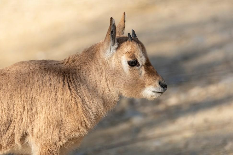 Thuraya Oryx